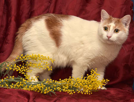 house trained: White with red cat and mimosa