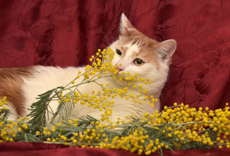 house trained: White with red cat and mimosa on a red background