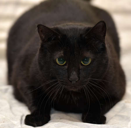 Fat black cat with green eyes.