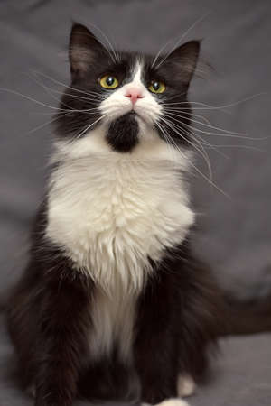 moggy: Black with white fluffy cat
