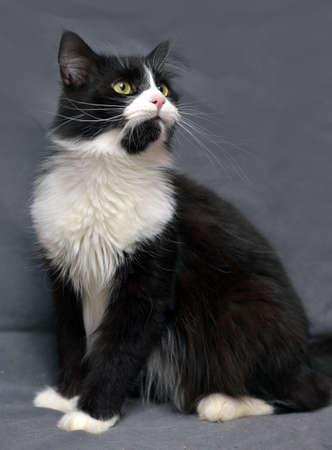 moggi: Black with white fluffy cat