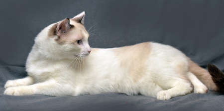 furred: Snowshoe cat on a gray background.