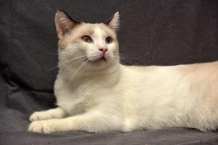 furred: Snowshoe cat