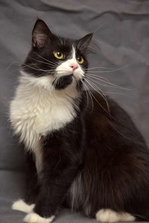 Black with white fluffy cat on a black background.
