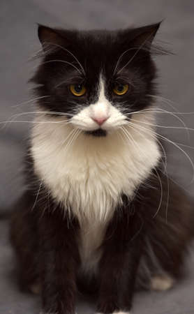 moggi: Black with white fluffy cat on a black background.