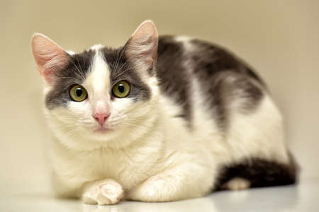 White and gray cat European short-haired.