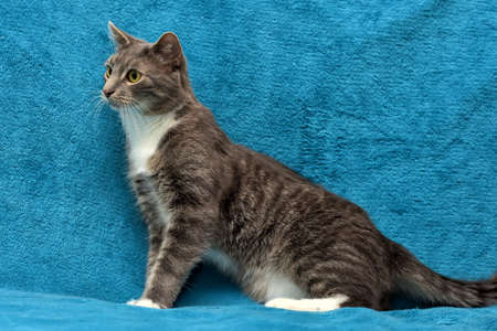 Gray and white cat on a blue background.