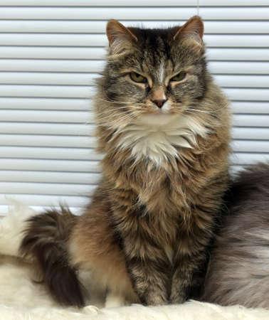 dilate: Beautiful fluffy Siberian cat Russian. Stock Photo