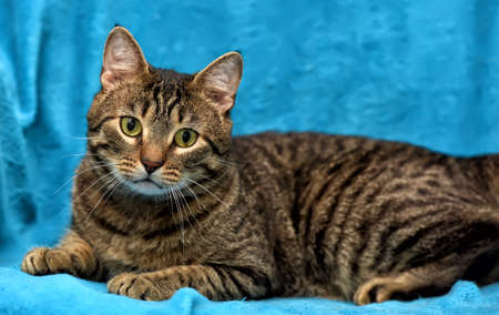 viewer: Tabby cat on a blue background.