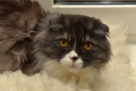 silver eared: Fluffy gray and white lop-eared cat.