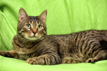Beautiful tabby cat on a green background. 版權商用圖片