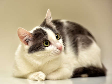 breeders: White and gray cat European short-haired.