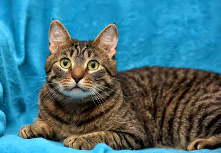 grey eyed: Tabby cat on a blue background.