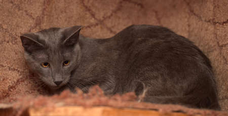 pink pussy: Gray short-haired cat with squinting eyes. Stock Photo