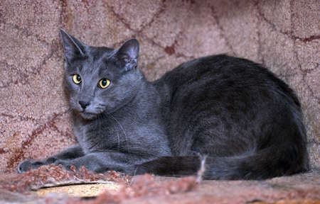 grey eyed: Gray short-haired cat with squinting eyes. Stock Photo