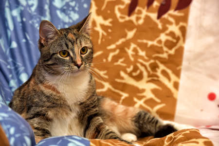 calico: Calico cat lying on the sofa. Stock Photo