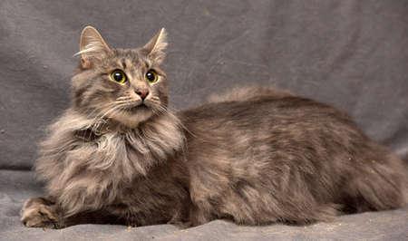 gray cat: Beautiful gray fluffy cat