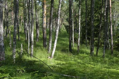 arboleda: Birch Grove a principios de verano.