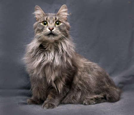 gray cat: Beautiful gray fluffy cat lying. Stock Photo