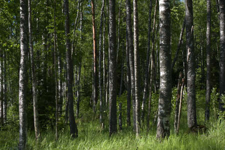 early summer: Birch Grove in early summer.