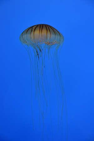 monterey: jellyfish in the aquarium
