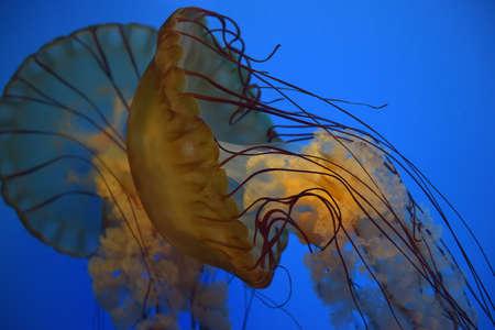 plancton: Una medusa con el fondo azul.