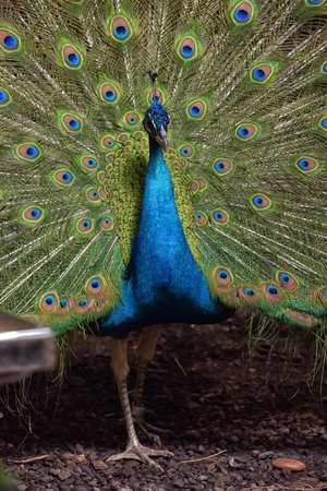 showoff: A beautiful peacock with colorful feathers.