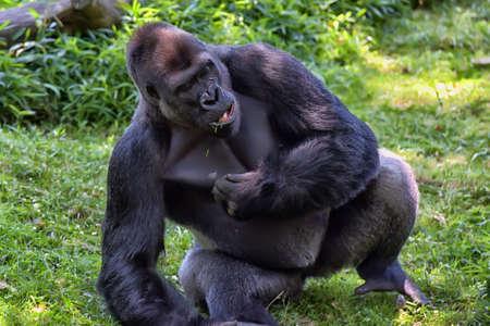 western lowland gorilla: western lowland gorilla Stock Photo