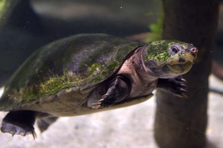 tuttle: Turtle swims under water in an aquarium. Stock Photo