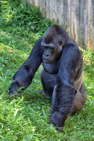 western lowland gorilla: Western Lowland Gorilla portrait (Gorilla gorilla gorilla) captive. National Zoo. Washington DC, USA.