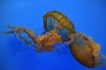 jelly fish: Orange Jelly Fish