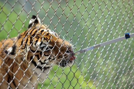 feeding through: Feeding the tiger through the bars.