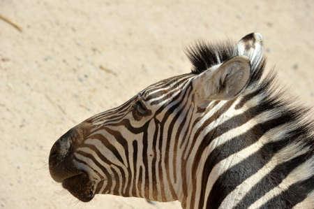 Close up of a zebra.