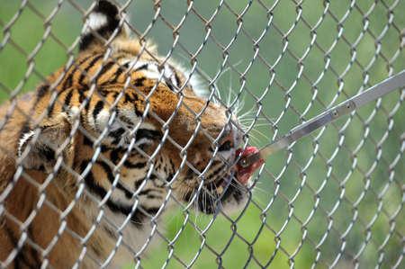 Feeding the tiger through the bars.