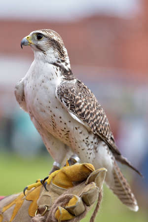 A falcon on the glove. Stock Photo