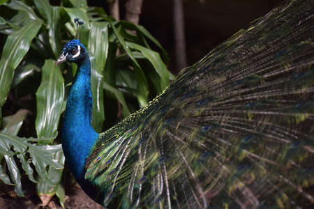 attract attention: A beautiful peacock with colorful feathers.
