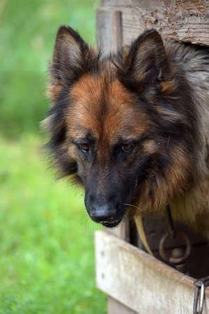 German Longhair Sheepdog