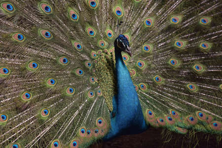 primp: A beautiful peacock with colorful feathers.