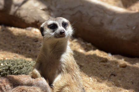 her: Close up of a meerkat mother holding her baby cub. Stock Photo