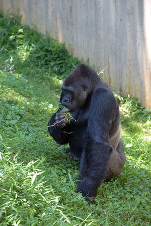 lowland: western lowland gorilla Stock Photo