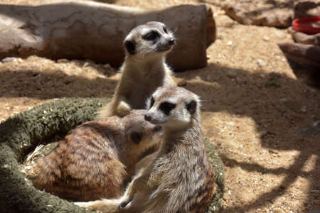 holding close: Close up of a meerkat mother holding her baby cub. Stock Photo