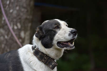 central asia shepherd dog: A young white and black Central Asian Shepherd Dog.