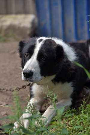 A young beautiful white and black Central Asian Shepherd Dog. Stock Photo