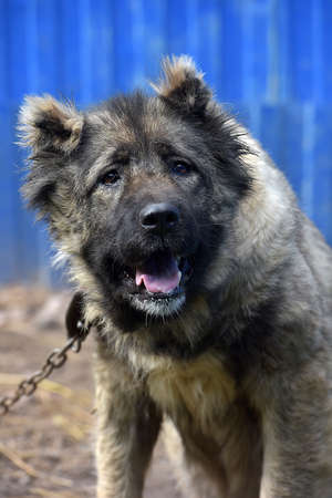 Caucasian shepherd breed dog outdoors.
