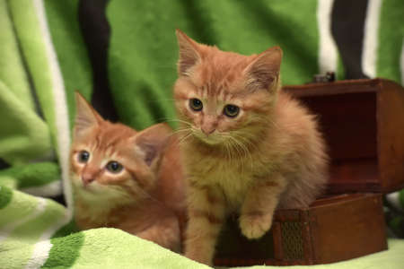 eye ball: Two red kitten and box on a green background. Stock Photo