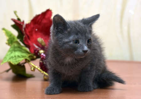 christmas pussy: Russian blue kitten and Christmas flower.