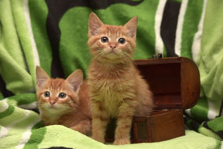 Two red kitten and box