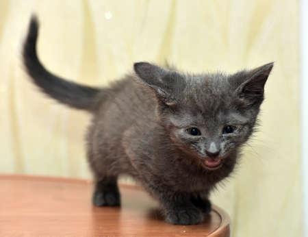Gray kitten Russian blue Stock Photo