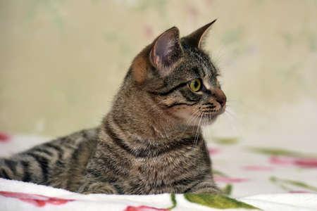 Charming striped European shorthair cat.