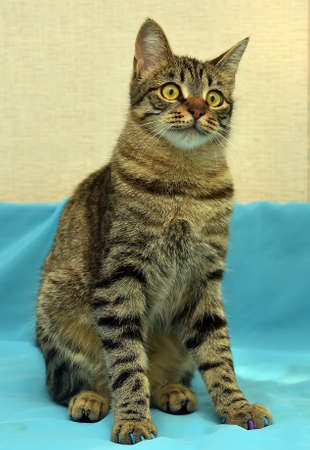 Handsome young tabby cat on a blue and yellow background. 版權商用圖片
